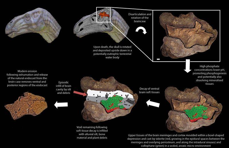 Второй мозг у динозавров
