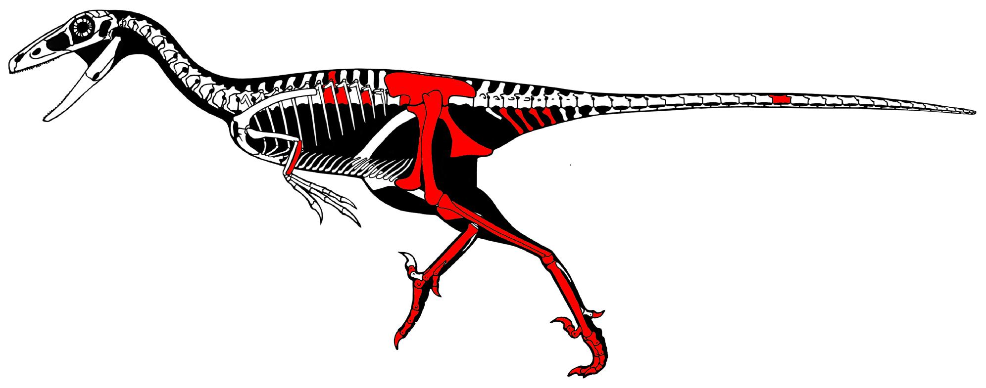Скелет велоцираптора