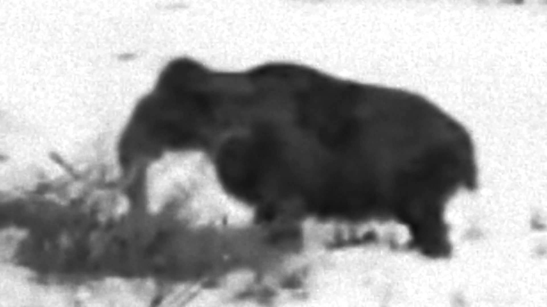 Мамонт живой, фото живого мамонта
