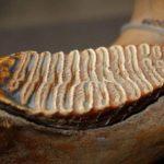 Зуб мамонта, зуб мамонта фото